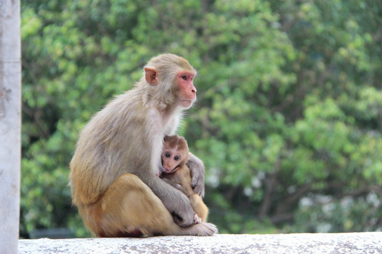 Monkey in Rishikesh